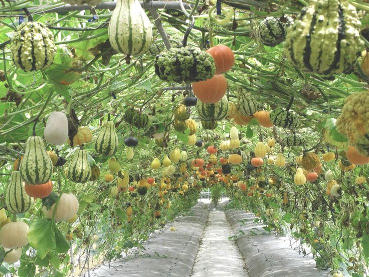 Squash And Gourd Tunnel